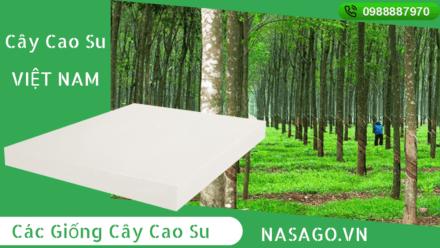 Cây Cao Su Việt Nam 30